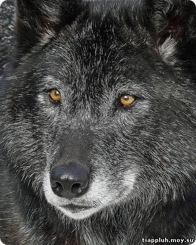 Правда о волке
